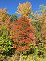 2015-10-11 16 39 03 Black Tupelo and other trees changing color in autumn near the southern end of the Fairfax County Parkway (Virginia State Route 286) near Fort Belvoir, Virginia.jpg