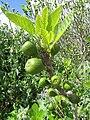 2017-03-23 Fruit on a Fig tree (Ficus carica), Cerro Grande, Albufeira.JPG
