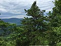 2017-06-21 14 56 42 Table-mountain Pine Pinus pungens at around 800 m (2,600 feet) above sea level along the Ridge Trail on the northeast side of Old Rag Mountain within Shenandoah National Park, in Madison County, Virginia.jpg