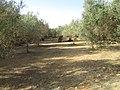 2017-10-15 Olive tree grove, Patã de Baixo, Boliqueime.JPG