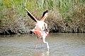 20170425 140 Camargue Flamingo (33621789354).jpg