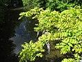 20180430Wisteria floribunda1.jpg