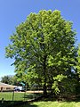 2019-04-27 14 06 01 A Pin Oak leafing out in mid-Spring along Franklin Farm Road in the Franklin Farm section of Oak Hill, Fairfax County, Virginia.jpg