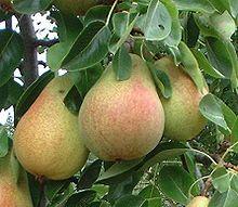 Pyrus Communis Tree
