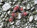 2166 - Salzburg - Pyrrhocoridae.JPG