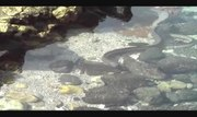 File:2 eels - Anguilliformes in a tidepool near Kona, Hawaii get into a fight.ogv