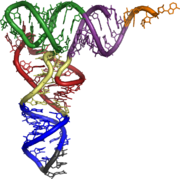 Structure of tRNA. CCA tail in orange, Acceptor stem in purple, D arm in red, Anticodon arm in blue with Anticodon in black, T arm in green.