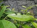 4733Common houseflies in Philippines 39.jpg