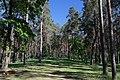 71-101-5006 Sosnivka Pines SAM 7326.jpg