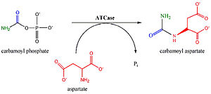 Aspartate carbamoyltransferase - Reaction of aspartate transcarbamylase.