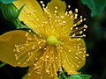 A Different Perspective Of A St. John's Wort (3818382942).jpg