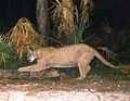 A Florida panther using a tree as a scratching post (7656791736).jpg
