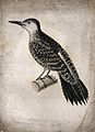 A bird, possibly a woodpecker. Etching. Wellcome V0022378EL.jpg