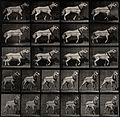 A cart-horse pulling. Photogravure after Eadweard Muybridge, Wellcome V0048730.jpg