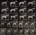 A cart-horse pulling. Photogravure after Eadweard Muybridge, Wellcome V0048730.jpg