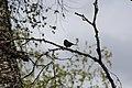 A dark-eyed junco perched in a tree (b869c77c-bb53-4b12-aad5-e023979c2e9f).jpg