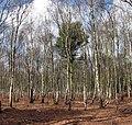 A lone pine tree - geograph.org.uk - 1205856.jpg
