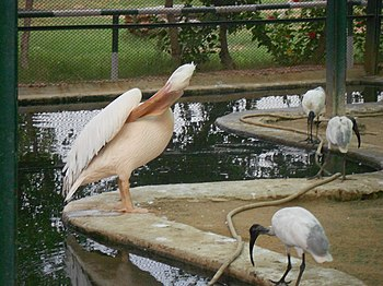 A pelican feeling itchy.jpg
