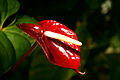 A red anthurium flower.jpg
