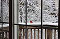 A red bird.JPG