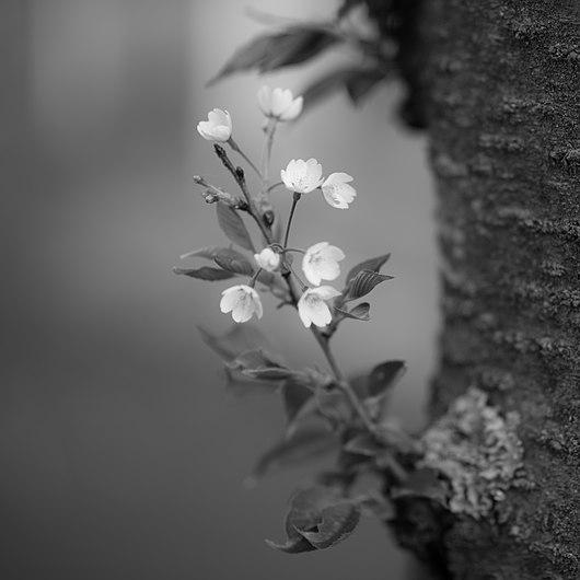 A tiny branch of a cherry blossom tree (8651135027).jpg