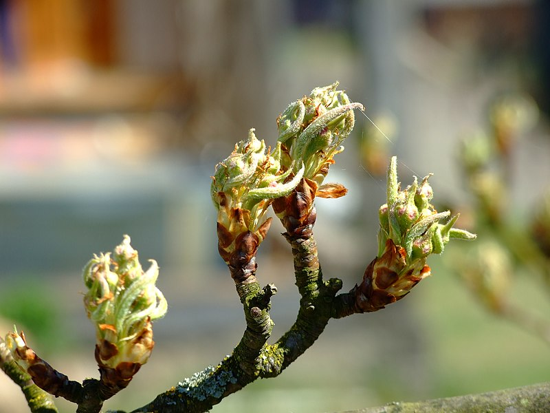 File:A tree bud.JPG