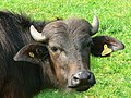 A water buffalo, Little Hungerford, West Berkshire - up close - geograph.org.uk - 398650.jpg