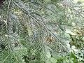 Abies Amabilis Foliage.jpg