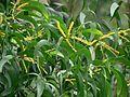 Acacia auriculiformis (588615565).jpg