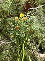 Acacia constricta kz6.jpg