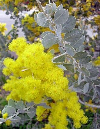Acacia podalyriifolia - Image: Acacia podalyriifolia