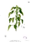 Acalypha indica Blanco2.266