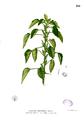 Acalypha indica Blanco2.266.png