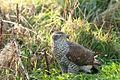 Accipiter gentilis -Fife, Scotland-8.jpg