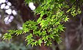 Acer japonicum in Auckland Botanic Gardens 03.jpg