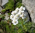 Achillea abrotanoides. Asteraceae (44957268912).jpg