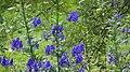 Aconitum napellus, Lainshaw, East Ayrshire.jpg
