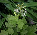 Actaea spicata flower (02).jpg
