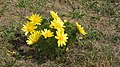 Adonis vernalis - Tobiášův vrch (Louny).jpg