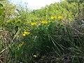 Adonis vernalis sl38.jpg