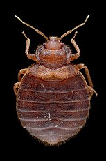Adult Female Bed Bug - Cimex lectularius - Bug length approximately 5 mm.jpg