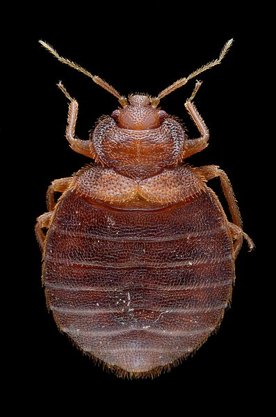 File:Adult Female Bed Bug - Cimex lectularius - Bug length approximately 5 mm.jpg