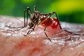 Aedes aegypti CDC9255.tif