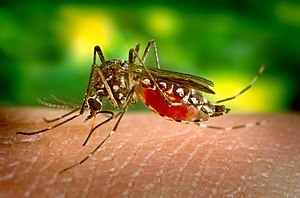World Health Day - Aedes aegypti yellow fever mosquito feeding