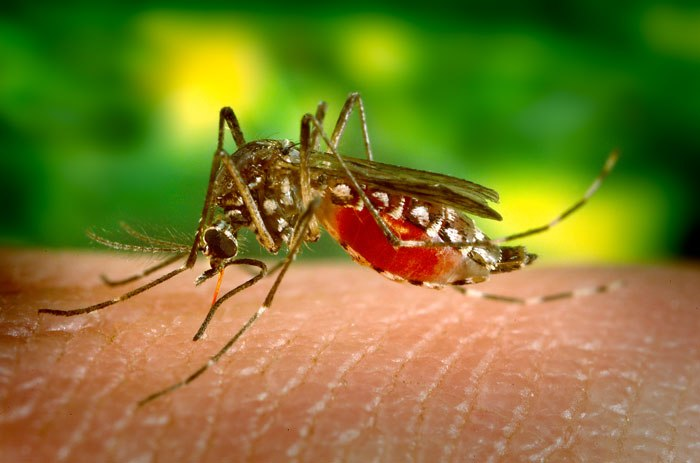 Aedes aegypti bloodfeeding CDC Gathany