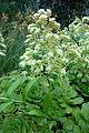 Aeonium canariense - Longwood Gardens - DSC01214.JPG