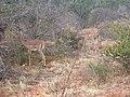 Aepyceros melampus melampus group in Tsavo West National Park.jpg