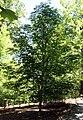 Aesculus flava 14zz.jpg