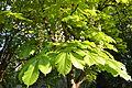 Aesculus hippocastanum flowers - City Park in Lučenec.jpg
