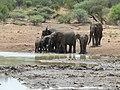 African Elephants (Loxodonta africana) drinking (8290541327).jpg